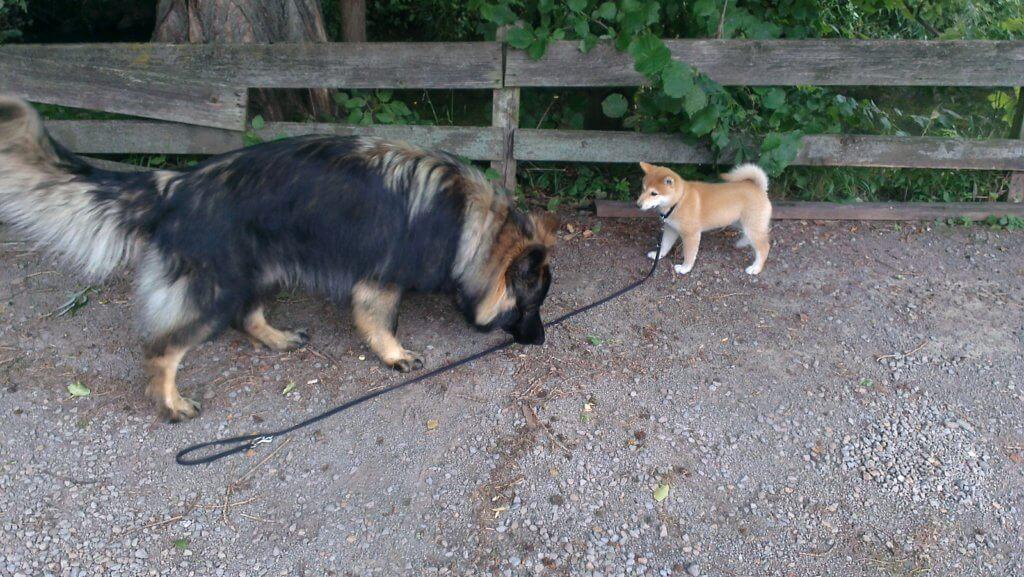 Laika in der Hundeschule