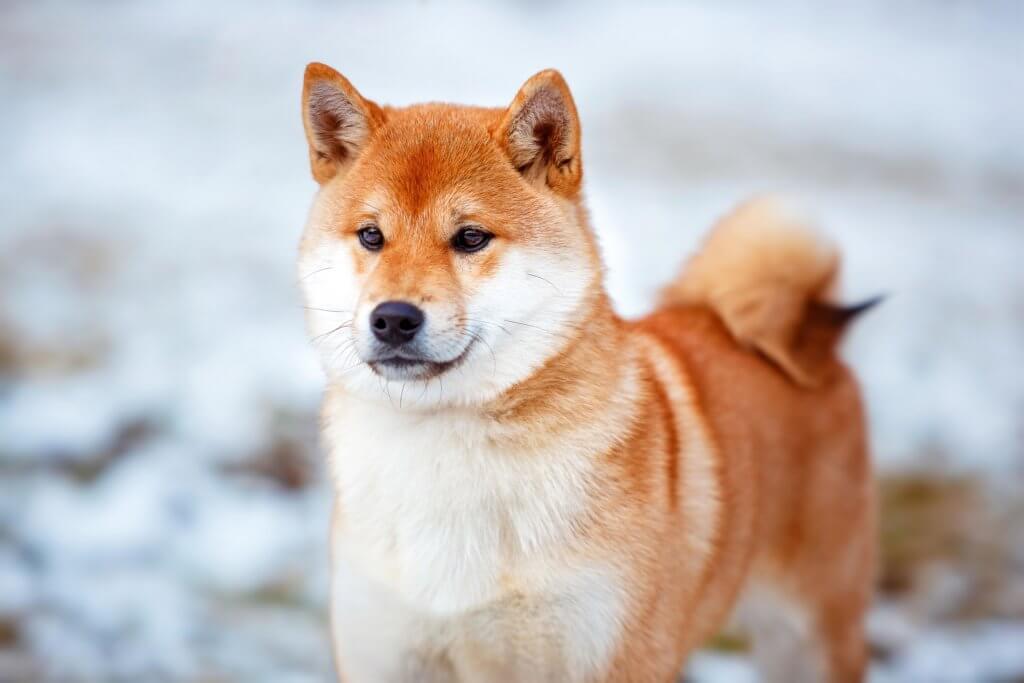 Wie alt wird ein Shiba Inu?