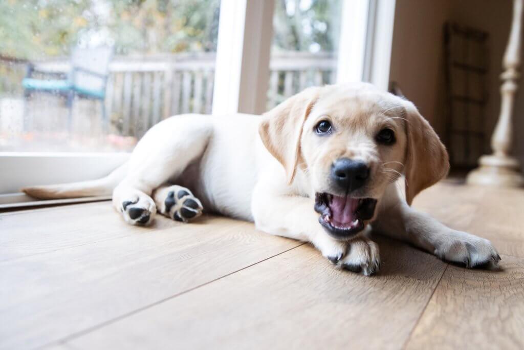 Labrador Kosten Im Monat Futter Steuer Versicherung Tierarztbesuche