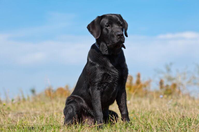 Wie lange wächst ein Labrador?