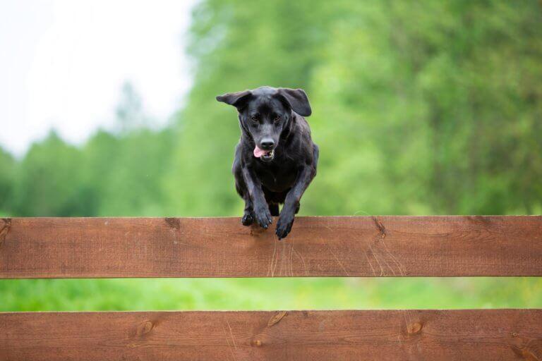 Wie hoch sollte ein Hundezaun sein?