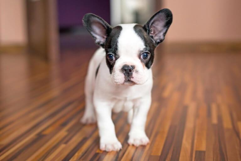 Wie lange wächst eine Französische Bulldogge?