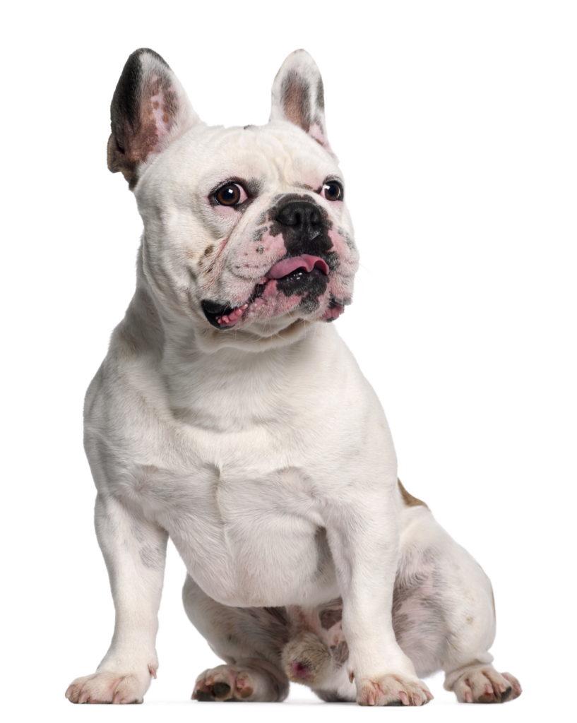 3 Jahre alte Französische Bulldogge