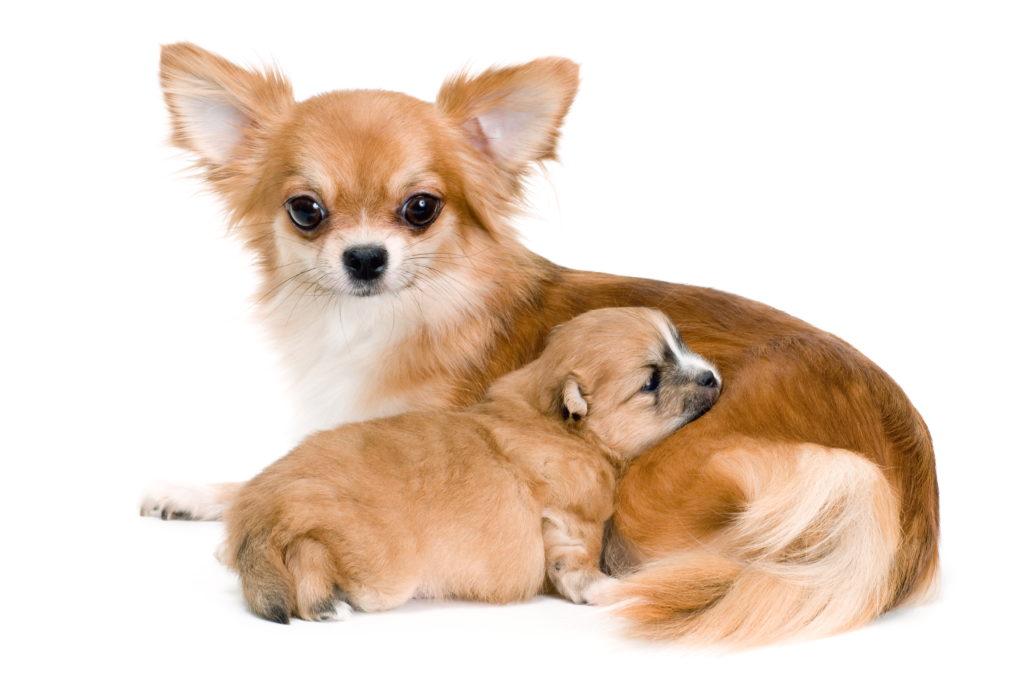 Chihuahua Hündin mit ihrem Welpen