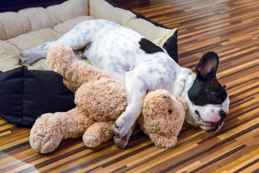 Französische Bulldogge schläft im Hundebett
