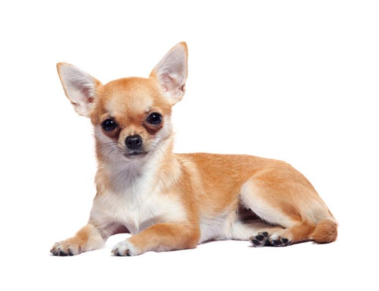 Wie lange wächst ein Chihuahua?