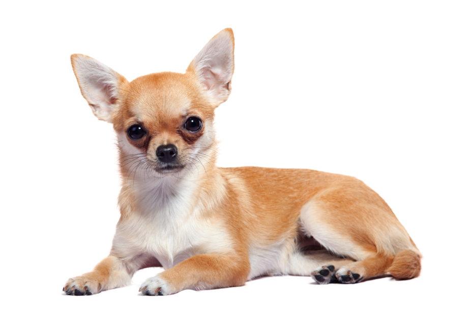 Chihuahua Wachstum