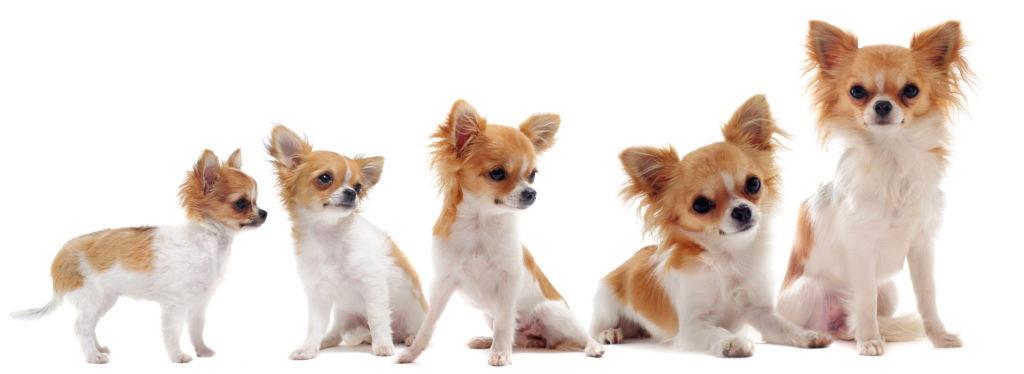 Chihuahua Wachstum 3 bis 12 Monate