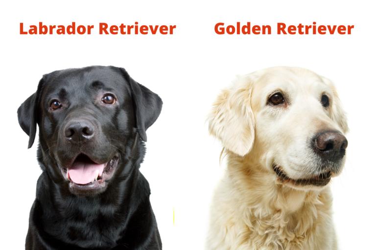 Was ist der Unterschied zwischen einem Labrador und einem Golden Retriever?