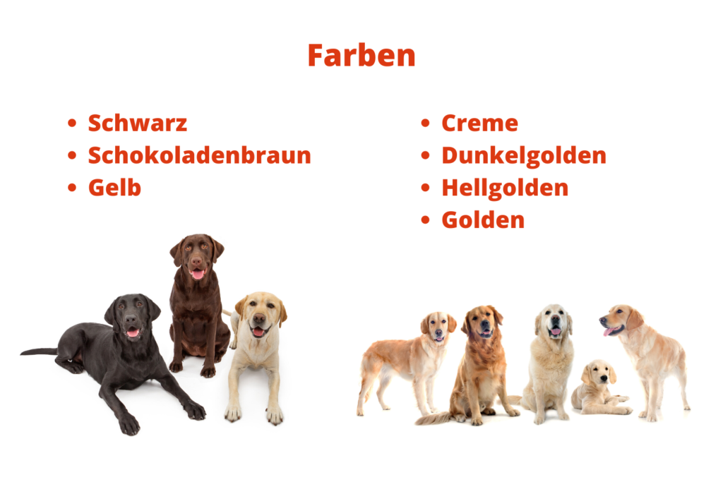 Unterschied Labrador Und Labrador Retriever