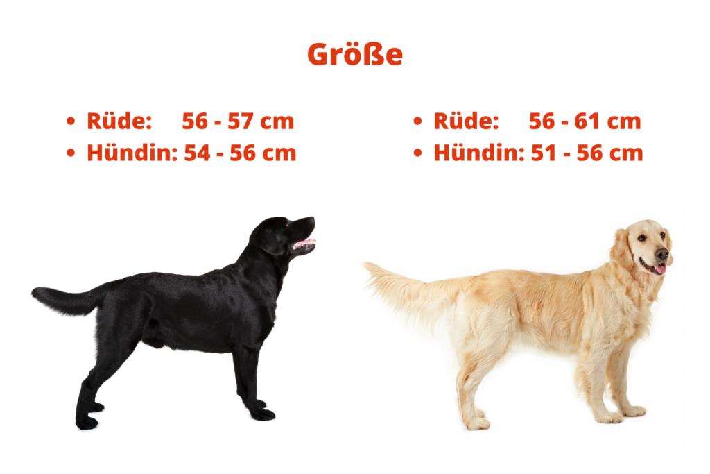 Unterschied zwischen Labrador und Golden Retriever Größe