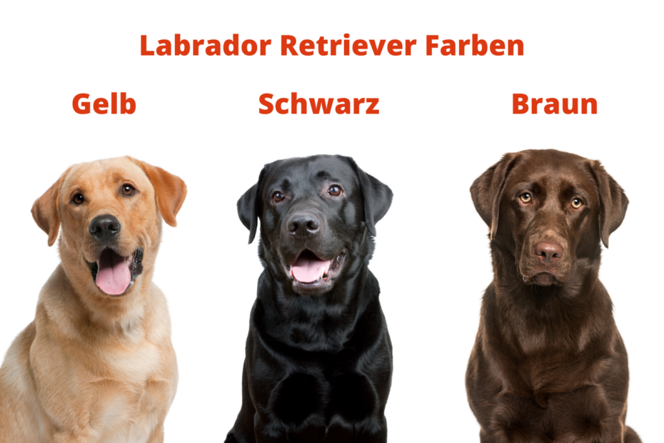 Labrador Retriever Farben