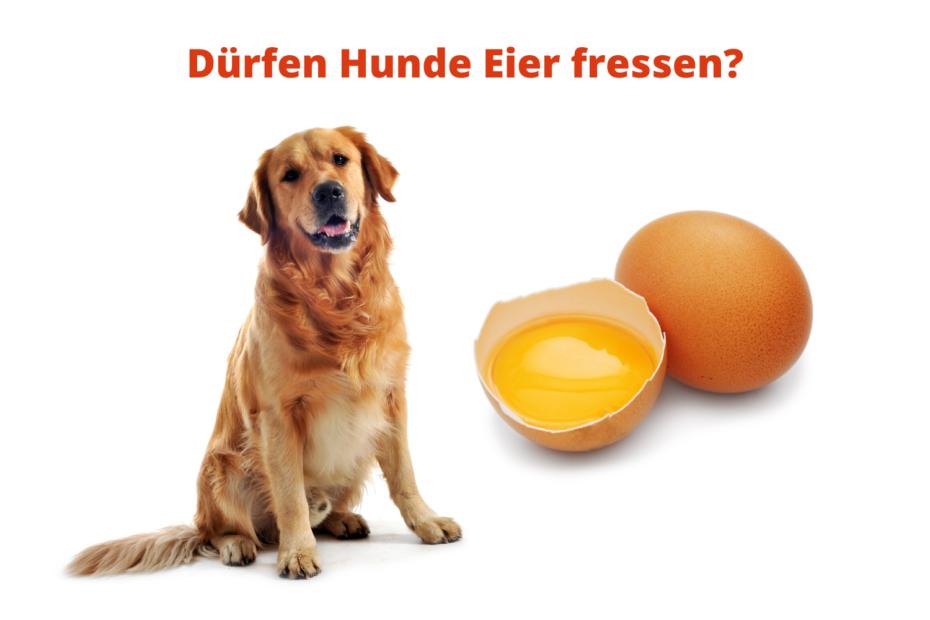 Dürfen Hunde Eier fressen?