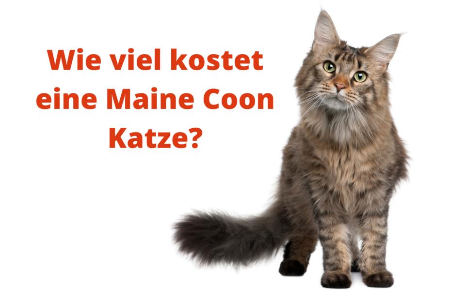 Wie viel kostet eine Maine Coon Katze?